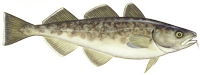 Gadus Macrocephalus