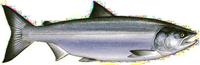Oncorhynchus Keta