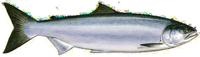 Oncorhynchus Nerk